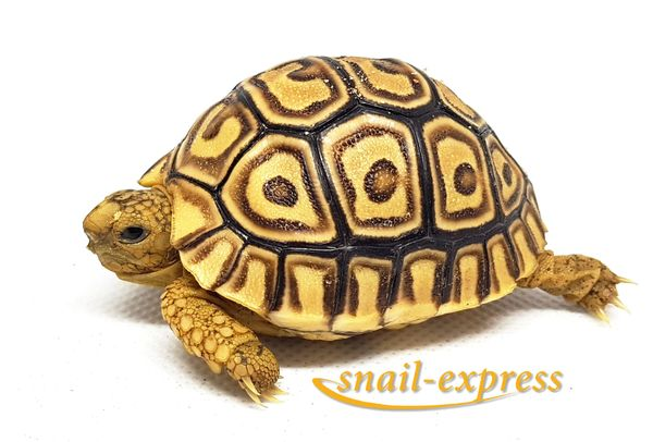 Pantherschildkröte - Stigmochelis pardalis babcocki