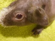 Skinny Pig Baby Meerschweinchen Weibchen