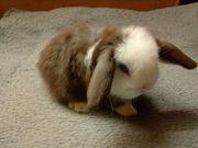 Traumhaft schone Minilop Kaninchen Babys