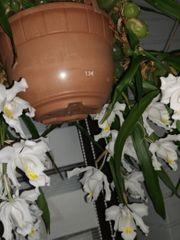 Orchidee zimmerpflanzen Setzlinge