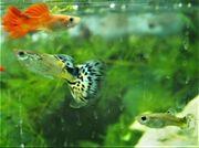Guppy - Jungfische