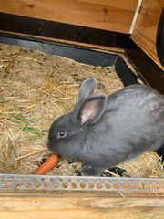 Blaue Wiener Kaninchen