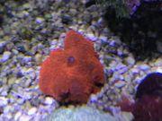 Koralle Scheibenanemone Discosoma neon-rot orange