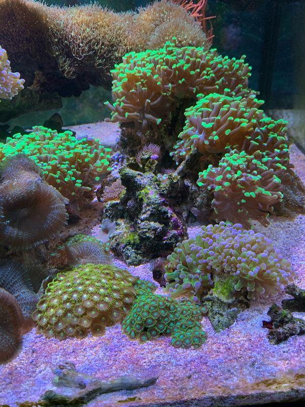 Aquarium Meerwasser Ableger Korallen