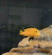 2 ausgewachsene Malawi Yellows Labidochromis