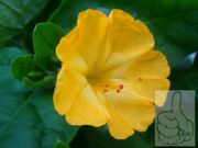 Wunderblume Gelb 10 frische Samen
