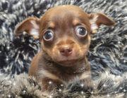 Kleiner Chihuahuarüde sucht seine Familie
