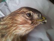sehr alter Raubvogel Greifvogel braun