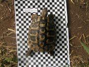 griech Landschildkröten Männchen