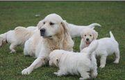 Labrador Retriever Welpen bereit