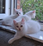 Türkisch Van Kitten mit Stammbaum