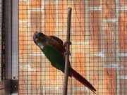 Sittich Papagei