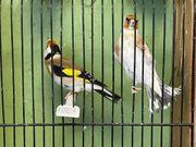Vögel Stieglitz verkaufen