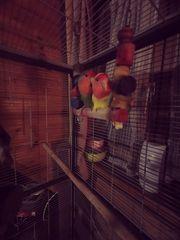 Pfirsichköpfchen Rosenköpfchen Unzertrennliche kleiner Papagei