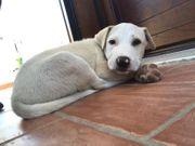 2 Monate Labradormix sucht ein