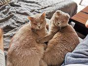 Katzenbrüder British Kurzhaar und Schottisch