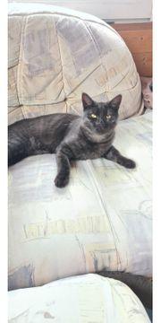 Katze Schwarz Grau 9 Monate
