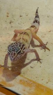 Leopardengecko Gruppe mit Terrarium