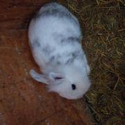 Zwergkaninchen Löwenkopfkaninchen Kaninchen weiblich 10