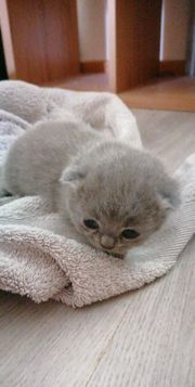 Bkh mix kitten point