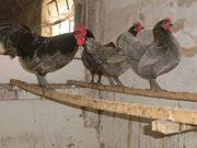 Hühner Zwerg Australorps schwarz blaugesäumt
