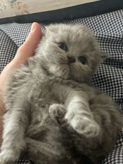 BKH und BLH Kitten mit