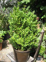 Buchsbaum Solitär- u Heckenpflanzen