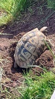 griechische landschildkröten Schildkröten Nachzuchten