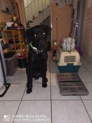 Deutsche dogge hund 7 Monate