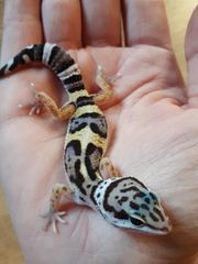 Verschiedene Leopardgecko NZ 2021 0