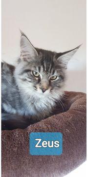 Maine Coon reinrassige Kitten mit