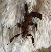 Australische Gespenstschrecken Dornschrecken und Lichen