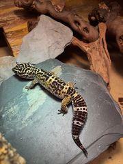 Leopardgecko-Weibchen sucht Freundin