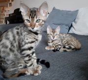 2 Bengal Kitten