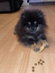 Zwergspitz Pomeranian Rüde