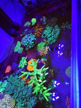 Fische, Aquaristik - Steinkoralle SPS LPS Korallen