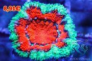 Meerwasser korallen Ableger Versand möglich