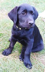 Wunderschöne Labrador Welpen schwarz mit