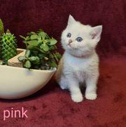 BKH Süße Reinrassige Kitten nur