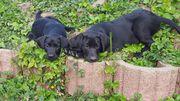 8 Labrador Deutsch-Drahthaarwelpen