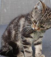 Wunderschöne schmusige BKH Kitten Katzenbabys