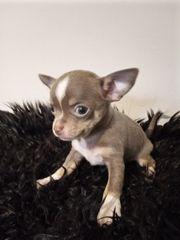 LILAC TAN Chihuahua Welpe Hündin