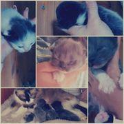 Ragdoll-Perser Kitten C-Wurf