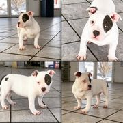 American Bully Pocket 3 Monate