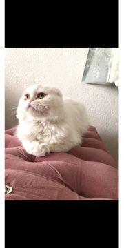 BLH Katze Strahlend Weiß Deckkater