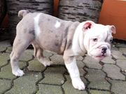 Süße Englische Bulldogge in Blue