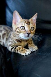 wunderschönes Bengal Kitten