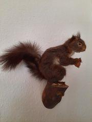 Eichhörnchen Präparat