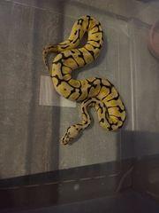 Python Regius - Bumblebee - Schlange