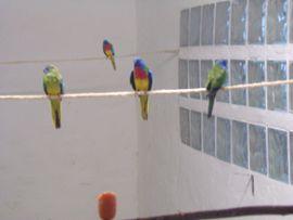 Vögel - Glanzsittiche wildfarbig Hähne